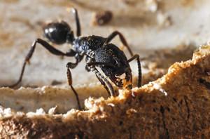 Pheidole, Ant, BlackAnt